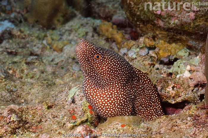 White mouthed moray eel {Gymnothorax meleagris} Bunaken, Sulawesi, Indonesia  ,  ANDAMAN,ASIA,CSH,FISH,HORIZONTAL,INDIAN,INDO,INDO PACIFIC,INDONESIA,MARINE,OCEAN,PACIFIC,SEA,SOUTH EAST ASIA,SPOTS,SPOTTED,SULAWESI,TROPICAL,UNDERWATER  ,  Carine Schrurs