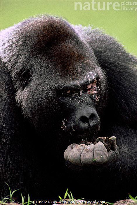 Silverback Western lowland gorilla eats soil for mineral content {Gorilla gorilla gorilla} Odzala NP, Republic of Congo  ,  AFRICA,BDA,CENTRAL AFRICA,EATS,ENDANGERED,FACES,FEEDING,FOOD,HEAD,HEADS,MALE,MALES,MAMMAL,MAMMALS,MINERALS,NP,ODZALA,PRIMATE,PRIMATES,RESERVE,SUPPLEMENTS,THREATENED,VERTICAL,NATIONAL PARK,GREAT APES , Bruce Davidson  ,  Jabruson