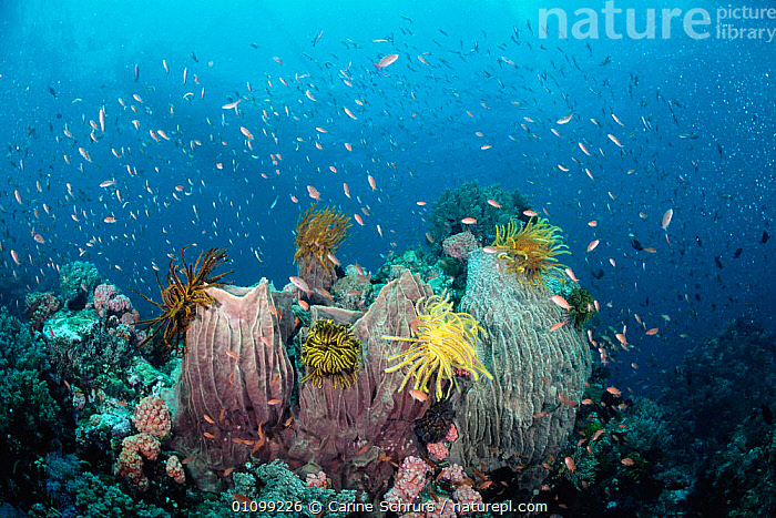 Coral reef scenic with Barrel sponges {Xestospongia testudinaria}, Crinoids {Crinoidea}, Anthias fish  Batangas, Philippines. Indo-Pacific  ,  ANTHOZOANS,BIODIVERSITY,CNIDARIA,COLOURFUL,CORAL REEFS,CSH,FISH,HABITAT,INDIAN,INDO PACIFIC,INVERTEBRATES,LANDSCAPE,MARINE,MIXED,MIXED SPECIES,OUTSTANDING,PACIFIC,PHILIPPINES,REEF,SCENIC,TESTUDINARIA,TROPICAL,UNDERWATER, Cnidaria  ,  Carine Schrurs