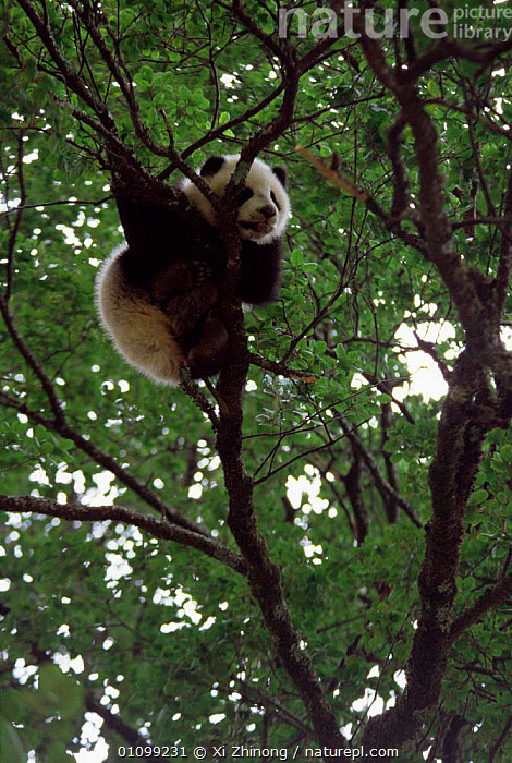 Giant panda up a tree {Ailuropoda melanoleuca} Shaanxi, China.  ,  END,CUTE,CARNIVORES,BRANCHES,CARNIVORE,ASIA,FORESTS,CHINA,ENDANGERED,TREES,THREATENEND,PANDAS,VERTICAL,OMNIVORES,OMNIVORE,MAMMALS,TROPICAL,Plants  ,  Xi Zhinong