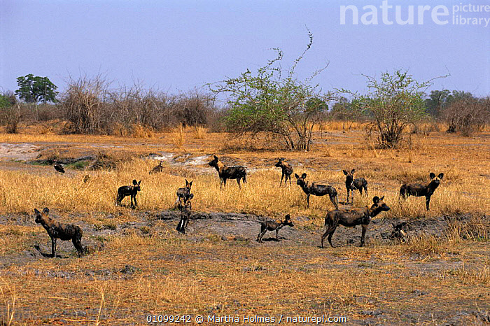 Pack of African wild dogs with pups {Lycaon pictus} Luangwa Valley, dry season, Zambia  ,  AFRICA,CANIDS,CARNIVORES,DRY SEASON,FAMILIES,FAMILY,GRASS,GRASSLAND,GROUPS,HABITAT,HORIZONTAL,LANDSCAPES,LUANGWA,MAMMALS,MH,SOUTHERN,SOUTHERN AFRICA,VELDT,YOUNG,ZAMBIA,PLANTS,DOGS  ,  Martha Holmes