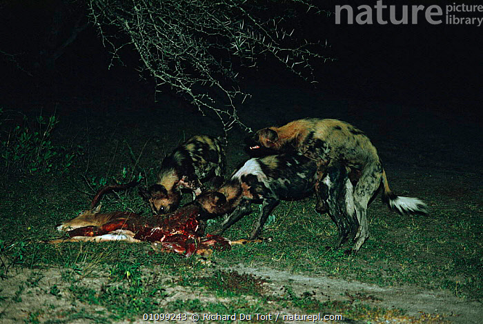 African wild dogs mating whilst female eats {Lycaon pictus} Mala Mala GR, South Africa  ,  AFRICA,BEHAVIOUR,CANID,CANIDS,CARNIVORE,CARNIVORES,COPULATION,DOGS,FEEDING,FEMALE,FEMALES,GR,GROUPS,HORIZONTAL,MALE FEMALE PAIR,MALES,MAMMAL,MAMMALS,MATING,MATING BEHAVIOUR,NIGHT,RDT,REPRODUCTION,SOUTHERN AFRICA  ,  Richard Du Toit