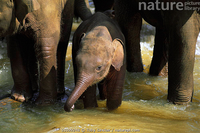 Young Indian elephant in water {Elephas maximus} Pinnawela orphanage, Sri Lanka  ,  ASIA,BABY,CUTE,Domestic,ELEPHANTS,ENDANGERED,GROUPS,herd,indian subcontinent,MAMMALS,orphans,PORTRAITS,PROBOSCIDS,rehabiliation,RESERVE,VERTEBRATES,WATER  ,  Toby Sinclair