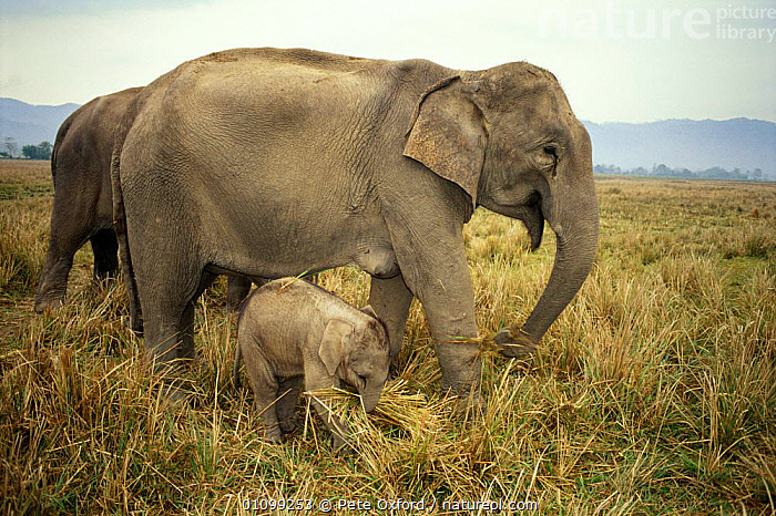 Indian elephant with young C{Elephas maximus} Kaziranga NP, Assam India  ,  ASIA,ASSAM,BABY,CAPTIVE,CUTE,DOMESTIC,DOMESTICATED,ELEPHANTS,FAMILIES,FAMILY,GROUPS,HORIZONTAL,INDIA,INDIAN SUBCONTINENT,KAZIRANGA,MAMMAL,MAMMALS,MOTHER,NATIONAL PARK,NP,PO,PROBOSCIDS,RESERVE  ,  Pete Oxford