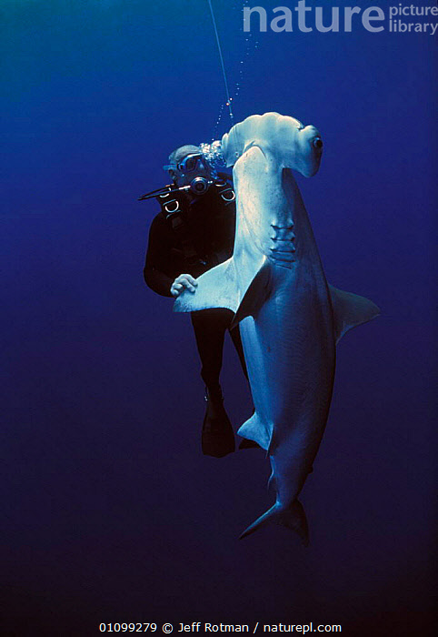 Diver examining hooked Scalloped Hammerhead shark {Sphyrna lewini} caught on longline fishing hook, Cocos Island, Costa Rica, Pacific Ocean, WHS Model released.  ,  AQUATIC,CHONDRICHTHYES,COCOS,COSTA,DEAD,DIVING,DYING,EXAMINING,FIN,FISH,HAMMERHEAD,HOOK,HOOKED,JR,LINE,LONG,LONGLINE,LONGLING,MARINE,OCEAN,PACIFIC,PEOPLE,RICA,SEA,SHARK,SHARK FISHING,SHARKS,SPHYRNA,SPORT,STORY,VERTICAL,SPORTS  ,  Jeff Rotman