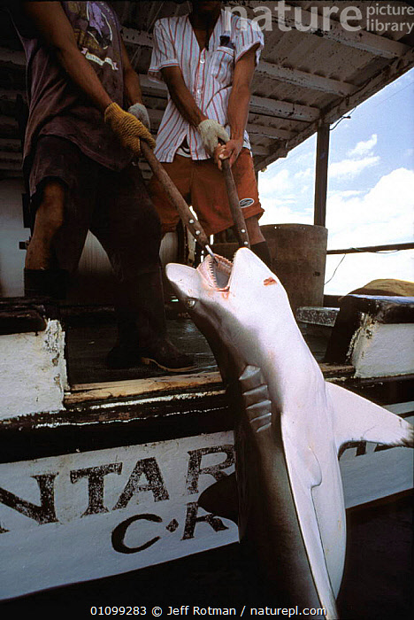 Hauling in Oceanic Blacktip shark caught on longline fishing hook {Carcharhinus limbatus} Cocos Island, Costa Rica, Pacific Ocean, WHS  ,  AQUATIC,BOAT,CATCH,CAUGHT,CHONDRICHTHYES,FIN,FISH,HOOK,HUNTING,JR,LINE,LONG,LONGLINE,MARINE,OCEAN,OCEANIC,PACIFIC,PEOPLE,PULLING,RICA,SEA,SHARK,SHARK FISHING,SHARKS,STORY,SURFACE,VERTICAL,SPORTS  ,  Jeff Rotman