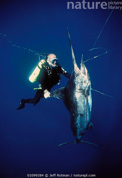 Diver inspecting Black Marlin {Makaira indica} caught on longline fishing hook, Cocos Island, Costa Rica, Pacific Ocean, WHS Model released.  ,  AQUATIC,BY CATCH,BYCATCH,CATCH,CAUGHT,CRUEL,DEAD,DIVER,DIVING,DYING,FISH,HOOK,HOOKED,HOOKS,JR,LINE,LONG,LONGLINE,MARINE,MARLIN,OCEAN,OSTEICHTHYES,PACIFIC,PEOPLE,SEA,SHARK FISHING,STORY,VERTICAL,SPORTS  ,  Jeff Rotman