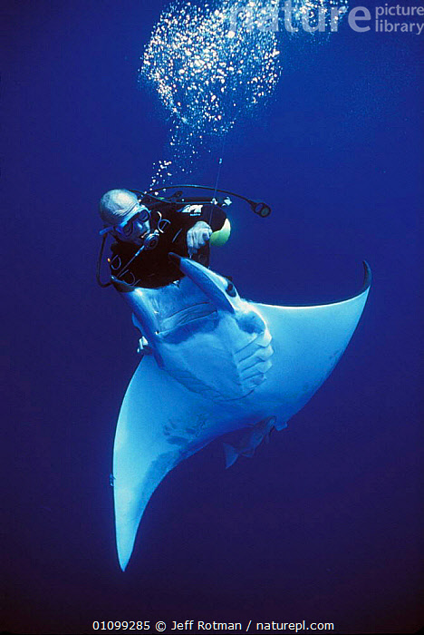 Diver releases hooked Manta Ray {Manta birostris} caught on longline fishing hook, Cocos Island, Costa Rica, Pacific Ocean, WHS Model released.  ,  ALIVE,AQUATIC,BY CATCH,BYCATCH,CHONDRICHTHYES,DIVER,DIVING,DYING,FISH,HOOK,HOOKED,JR,LINE,LONG,LONGLINE,MANTA,MARINE,OCEAN,PACIFIC,PEOPLE,RAY,RAYS,SEA,SHARK FISHING,STORY,VERTICAL,WHS,SPORTS  ,  Jeff Rotman