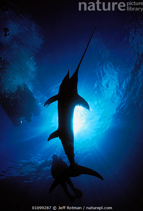Diver examining hooked Swordfish {Xiphias gladius} caught on longline fishing hook, underneath boat, Cocos Island, Costa Rica, Pacific Ocean, WHS  ,  AQUATIC,BOAT,BOATS,BY CATCH,BYCATCH,CATCH,CAUGHT,DEAD,DIVER,DRAMATIC,DYING,FISH,HOOKED,JR,LONGLINE,MARINE,OCEAN,OSTEICHTHYES,PACIFIC,PEOPLE,RICA,SEA,SHARK FISHING,SILHOUETTE,SILHOUETTES,STORY,SURFACE,SWORDFISH,UNDERNEATH,UNDERWATER,VERTICAL,SPORTS  ,  Jeff Rotman