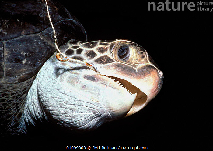 Hawksbill turtle hooked on long line {Eretmochelys imbricata} Cocos Island, Costa Rica, Pacific Ocean  ,  BY CATCH,BYCATCH,CATCH,CAUGHT,COCOS,COSTA,ENDANGERED,FACE,FACES,HEADS,HOOK,HORIZONTAL,JR,LINE,LONG,MARINE,MOUTHS,OCEAN,PACIFIC,REPTILE,REPTILES,SEA,SHARK FISHING,SNARED,STORY,THREATENED,TURTLE,VICTIM,SPORTS  ,  Jeff Rotman