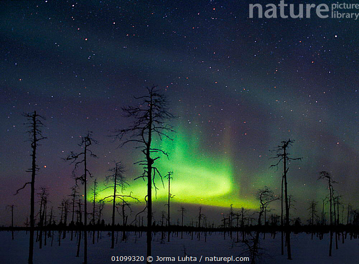 Green aurora borealis colours in night sky, Lapland, northern Finland, winter. Greeen is the most commonly seen colour in Auroras.  ,  AMAZING,ARCTIC,COLOURFUL,COLOURS,DEAD,EUROPE,FINLAND,GREEN,HEMISPHERE,HORIZONTAL,JLU,LANDSCAPES,LAPLAND,LIGHTS,MAGICAL,NATURAL,NIGHT,PHENOMENON,SKY,STARS,TAIGA,TREES,WINTER,WOODLAND,SCANDINAVIA,PLANTS, Europe, Europe, Europe, Europe, Europe  ,  Jorma Luhta
