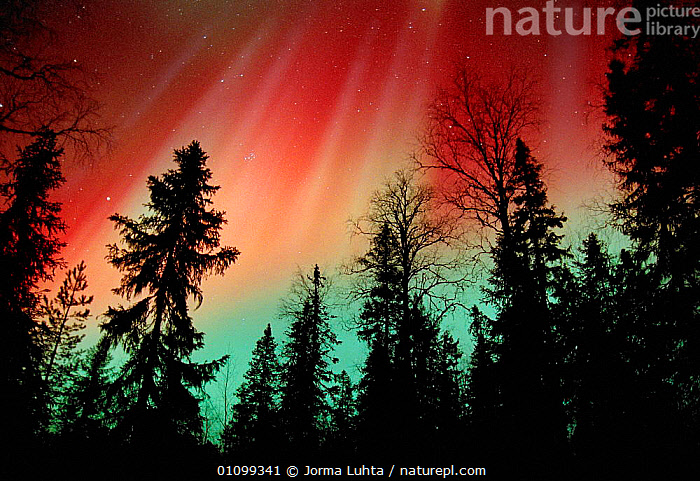 Aurora borealis storm colours in night sky, northern Finland, winter  ,  AMAZING,ARCTIC,COLOURFUL,COLOURS,CONIFEROUS,EUROPE,FINLAND,HEMISPHERE,HORIZONTAL,JLU,LANDSCAPES,MAGIC,MAGICAL,NATURAL,NIGHT,PHENOMENON,PLANTS,SCANDINAVIA,SILHOUETTES,SKY,SPRUCE,STARS,TAIGA,TREES,WOODLAND, Europe, Europe, Europe, Europe, Europe,Wonder,Spectacular,  ,  Jorma Luhta