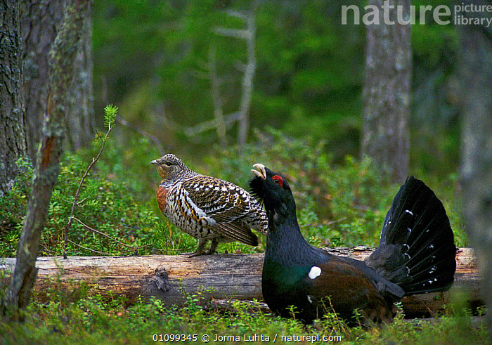 Capercaillie male displaying to hen {Tetrao urogallus} Lapland, Finland, Europe  ,  BEHAVIOUR,BIRDS,CONIFEROUS,COURTSHIP,EUROPE,FEMALES,FINLAND,GAME BIRDS,HORIZONTAL,LAPLAND,MALE FEMALE PAIR,MALES,PAIR,SPRING,WOODLAND,SCANDINAVIA  ,  Jorma Luhta