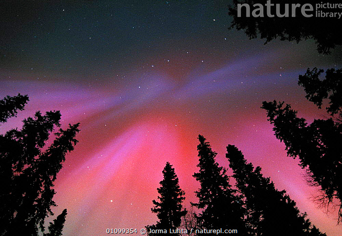 Aurora borealis corona colours in night sky, northern Finland, winter  ,  AMAZING,ARCTIC,COLOURFUL,COLOURS,CONIFEROUS,EUROPE,FINLAND,HEMISPHERE,HORIZONTAL,JLU,MAGIC,MAGICAL,NATURAL,NIGHT,PHENOMENON,PLANTS,SKIES,SKY,STARS,TREES,WINTER,SCANDINAVIA  ,  Jorma Luhta