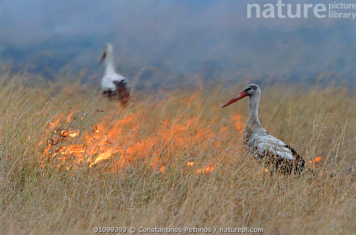 White storks {Ciconia ciconia} hunt for insects during bush fire. Masai, Kenya - fire causes insects to leave grass and become visible to stork  ,  AFRICA,BEHAVIOUR,BIRD,BIRDS,CPE,FEEDING,FIRE,GRASS,HORIZONTAL,HUNTING,INSECTS,INTERESTING,KENYA,MASAI,SAVANNA,GRASSLAND,PLANTS,INVERTEBRATES  ,  Constantinos Petrinos
