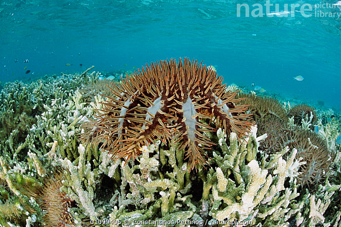 Crown of thorns starfish feed on coral {Acanthaster planci} Lembeh strait, Sulawesi Indonesia  ,  CORAL REEFS,CPE,DESTRUCTION,ECHINODERM,ECHINODERMS,GROUP,GROUPS,HORIZONTAL,INDO,INDONESIA,INDO PACIFIC,INVERTEBRATE,INVERTEBRATES,MARINE,PACIFIC,REEF,SEASTAR,SEASTARS,SOUTH EAST ASIA,STARFISH,SULAWESI,TROPICAL,UNDERWATER,ASIA, Starfish  ,  Constantinos Petrinos
