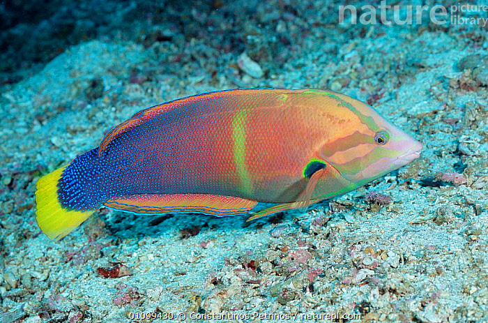 Clown wrasse / Yellowtail coris {Coris gaimardi} hunts by turning over rock and coral. Philippines  ,  COLOURFUL,CORAL,CORAL REEFS,CPE,FISH,HORIZONTAL,,INDO,INDO PACIFIC,MARINE,,PACIFIC,PHILIPPINES,TROPICAL,UNDERWATER  ,  Constantinos Petrinos