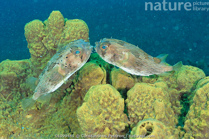 Balloon fish / Freckled porcupinefish {Diodon holocanthus} mating pair. Lembeh, Sulawesi, Indonesia  ,  BEHAVIOUR,CPE,FEMALE,FEMALES,FISH,HORIZONTAL,,INDO,INDONESIA,INDO PACIFIC,MALE,MALE FEMALE PAIR,MALES,MARINE,MATING,,PACIFIC,PAIR,REPRODUCTION,SULAWESI,TROPICAL,TWO,UNDERWATER,ASIA  ,  Constantinos Petrinos