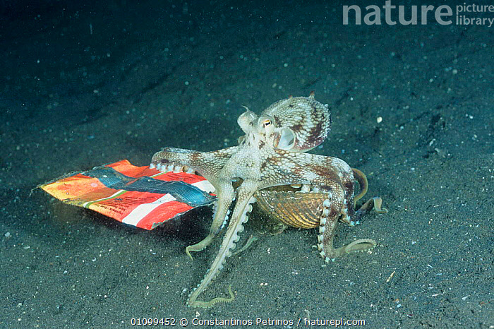 Veined / Marginated octopus {Octopus marginatus} carrying shell across seabed for protection notices crisp bag and collects that too. Lembeh, Sulawesi, Indonesia  ,  ADAPTION,ADAPTIVE,BEHAVIOR,BEHAVIOUR,CARRYING,CEPHALOPOD,CEPHALOPODS,CPE,HOMES,,INDONESIA,INDO PACIFIC,INTELLIGENCE,INTELLIGENT,INTERESTING,INVERTEBRATE,INVERTEBRATES,MARINE,MOLLUSCS,,PACIFIC,POLLUTION,PROTECTION,SEABED,SHELLS,SOUTH EAST ASIA,SULAWESI,TROPICAL,UNDERWATER,ASIA, MOLLUSCS,SOUTH-EAST-ASIA, Molluscs, Molluscs, Molluscs  ,  Constantinos Petrinos