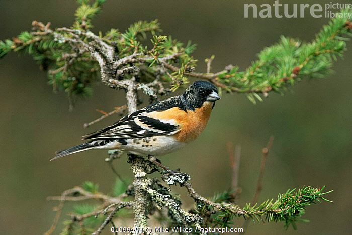 Brambling {Fringilla montifringilla} profile on branch, Sweden, Europe.  ,  BIRDS,EUROPE,FINCHES,HORIZONTAL,PASSERINES,PORTRAITS,SWEDEN,VERTEBRATES,WINTER,Scandinavia,  ,  Mike Wilkes