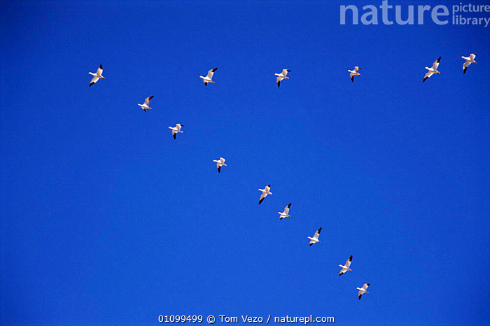 Snow geese fly in V formation {Chen caerulescens} Bosque del Apache, NM, USA.  ,  BIRDS, FLOCKS, FLYING, GEESE, goose, VERTEBRATES, WATERFOWL  ,  Tom Vezo