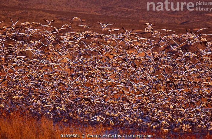 Snow geese taking off {Chen caerulescens} Bosque del Apache, New Mexico, USA  ,  ACTION, BIRDS, CENTRAL-AMERICA, FLOCKS, FLYING, GEESE, GROUPS, mass, MIGRATION, SNOW, spectacle, TAKE-OFF, USA, VERTEBRATES, WATERFOWL, WETLANDS,North America  ,  George McCarthy