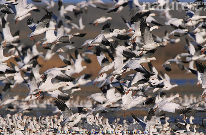 Snow geese taking off {Chen caerulescens} Bosque del Apache, NM, USA  ,  BIRDS, CENTRAL-AMERICA, FLOCKS, FLYING, GEESE, HORIZONTAL, SNOW, TAKE-OFF, USA, VERTEBRATES, WATERFOWL,North America  ,  George McCarthy