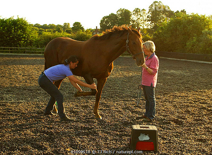 Equine physiotherapist at work on horse, Hampshire UK  ,  ENGLAND,EQUINE,EUROPE,FARM,HAMPSHIRE,HORIZONTAL,HORSE,INJURED,INJURY,MAMMAL,MAMMALS,PEOPLE,PERISSODACTYLA,PET,PETS,PHYSIOTHERAPY,THERAPY,TRI,UK,VET,VETINARY,WORK,UNITED KINGDOM,BRITISH,EQUINES , PET CARE  ,  TJ Rich