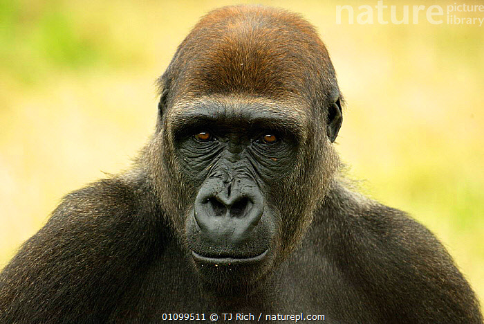 Head portrait of subadult Western lowland gorilla {Gorilla gorilla gorilla}  captive  ,  CAPTIVE,ENDANGERED,EXPRESSION,FACE,FACES,FACIAL,FACIAL EXPRESSION,GORILLA,GREAT APES,HEAD,HEADS,HORIZONTAL,MAMMAL,MAMMALS,PORTRAIT,PORTRAITS,PRIMATE,PRIMATES,SUBADULT,THREATENED,ZOO,EUROPE,UNITED KINGDOM,BRITISH  ,  TJ Rich