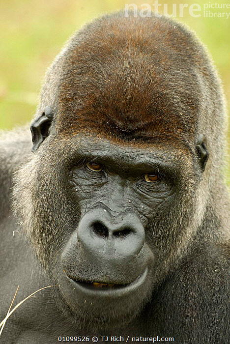 Head portrait of male silverback Western lowland gorilla {Gorilla gorilla gorilla} UK zoo  ,  APE,BLACK,BRITISH,CAPTIVE,ENDANGERED,EUROPE,EXPRESSION,FACE,FACES,FACIAL,FACIAL EXPRESSION,GREAT APES,HEAD,HEADS,MALE,MALES,MAMMAL,MAMMALS,PORTRAIT,PORTRAITS,PRIMATE,PRIMATES,THREATENED,TRI,UK,UNITED KINGDOM,VERTICAL  ,  TJ Rich