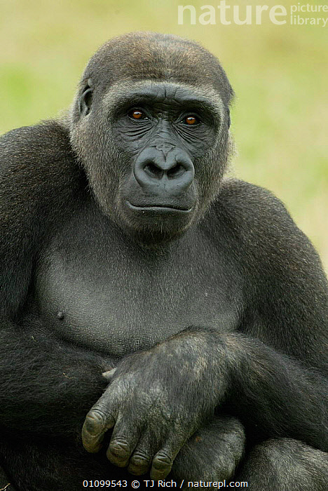 Sitting portrait of Western lowland gorilla {Gorilla  gorilla gorilla} UK  ,  APE,BLACK,CAPTIVE,ENDANGERED,EXPRESSION,FACE,FACES,FACIAL,FACIAL EXPRESSION,GREAT APES,HANDS,HEAD,HEADS,MAMMAL,MAMMALS,PORTRAIT,PORTRAITS,PRIMATE,PRIMATES,SAD,SITTING,THREATENED,TRI,UK,VERTICAL,EUROPE,UNITED KINGDOM,CONCEPTS,BRITISH  ,  TJ Rich