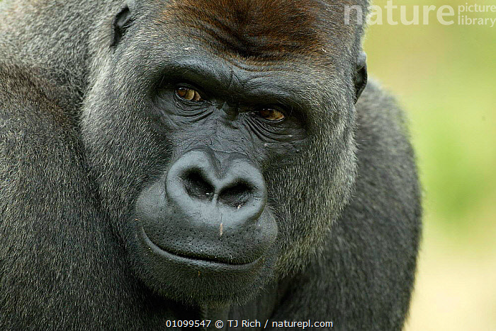 Head portrait of male silverback Western lowland gorilla {Gorilla gorilla gorilla} UK  ,  APE,BLACK,CAPTIVE,ENDANGERED,EXPRESSION,FACE,FACES,FACIAL,FACIAL EXPRESSION,GREAT APES,HEAD,HEADS,HORIZONTAL,MALE,MALES,MAMMAL,MAMMALS,NOSES,PORTRAIT,PORTRAITS,PRIMATE,PRIMATES,THREATENED,TRI,UK,EUROPE,UNITED KINGDOM,BRITISH  ,  TJ Rich