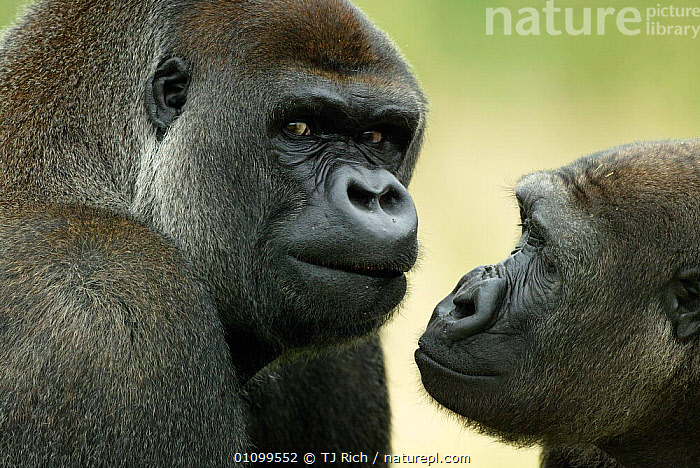 Two Western lowland gorillas face to face {Gorilla gorilla gorilla} UK  ,  APE,BLACK,CAPTIVE,COMMUNICATION,ENDANGERED,EXPRESSION,FACE,FACES,FACIAL,FACIAL EXPRESSION,GREAT APES,HEAD,HEADS,HORIZONTAL,MALE,MALES,MAMMAL,MAMMALS,PAIR,PORTRAITS,PRIMATE,PRIMATES,SOCIAL,THREATENED,TRI,TWO,UK,EUROPE,UNITED KINGDOM,BRITISH  ,  TJ Rich