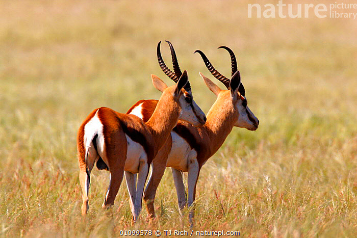 Male Springbok courting female {Antidorcas marsupialis} Damaraland Namibia. Desert in bloom due to unseasonal rain hence Springbok present. 2002  ,  ARTIODACTYLA,HORIZONTAL,MALE,MALES,MAMMAL,MAMMALS,NAMIBIA,PAIR,SOUTH,SOUTHERN,SOUTHERN AFRICA,TWO,UNUSUAL,WEATHER  ,  TJ Rich