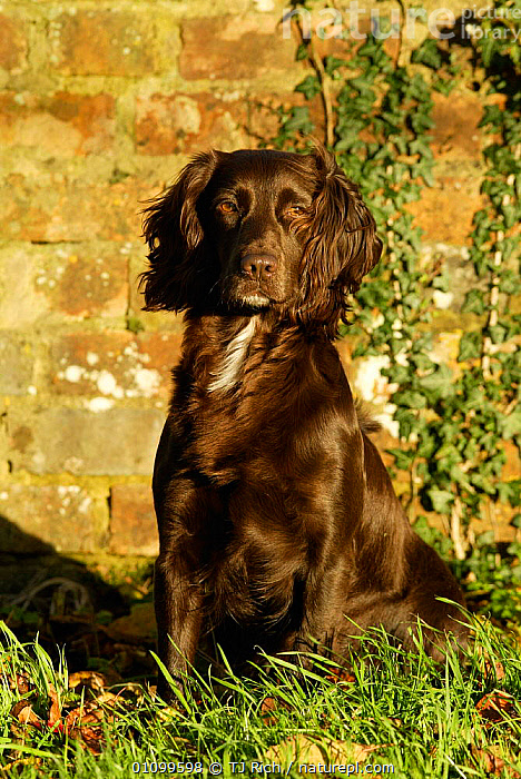Sitting portrait of working chocolate Cocker spaniel {Canis familiaris} Wiltshire UK  ,  BROWN,CANIDS,CARNIVORE,CARNIVORES,DOMESTICATED,ENGLAND,EUROPE,HUNTER,HUNTING,MAMMAL,MAMMALS,PET,PETS,PORTRAIT,PORTRAITS,SPANIELS,TRI,UK,UNITED KINGDOM,BRITISH,DOGS  ,  TJ Rich