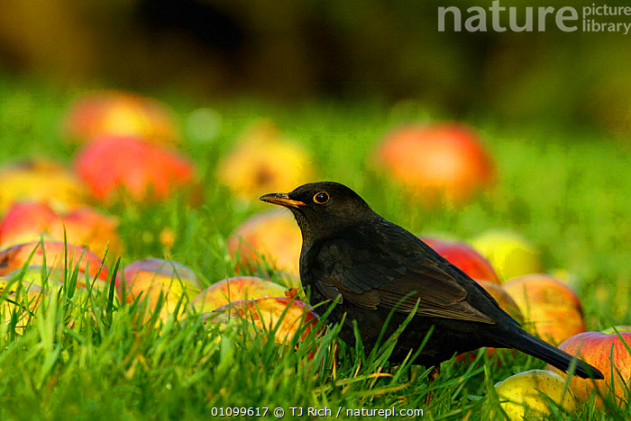 Male Blackbird feeding on windfall apples {Turdus merula} Wiltshire UK  ,  APPLES,AUTUMN,BIRD,BIRDS,BRITISH,EATING,ENGLAND,EUROPE,FEEDING,FRUIT,GARDEN,GROUND,HORIZONTAL,MALES,MERULA,ORCHARD,PASSERINES,TRI,UK,WILDLIFE,UNITED KINGDOM,PLANTS  ,  TJ Rich