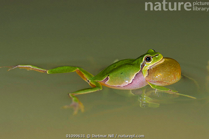 Common tree frog croaking in pond {Hyla arborea} Hungary  ,  AMPHIBIAN,AMPHIBIANS,CALLING,CHEEKS,EUROPE,FROGS,INFLATED,MALE,MALES,SWIMMING,VOCALISATION,WATER,WETLANDS,Anura , treefrog  ,  Dietmar Nill