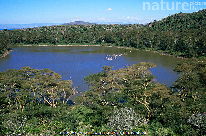 Volcanic Crater lake landscape with flamingoes, Crater Lake Game Sanctuary, Naivasha Kenya  ,  AFRICA,BIRDS,EAST AFRICA,GEOTHERMAL,GROUPS,HORIZONTAL,LAKES,LANDSCAPES,RESERVE,TREES,TROPICAL,Geology,Plants,EAST-AFRICA , flamingos  ,  WILLIAM OSBORN