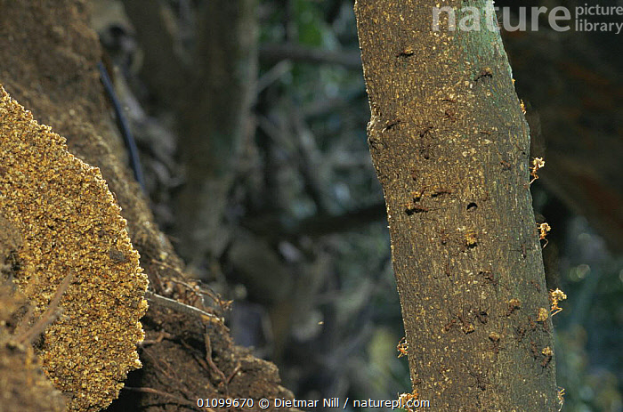 Leaf cutter ants {Atta colombica} carrying leaves up tree trunk, Panama, Central America  ,  ANTS,BEHAVIOUR,CENTRAL AMERICA,GROUPS,HYMENOPTERA,INSECTS,INVERTEBRATES,LEAFCUTTER ANTS,TREES,TROPICAL RAINFOREST,Plants  ,  Dietmar Nill