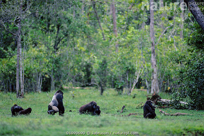 Western lowland gorillas eating in forest clearing Lokoue Bai, Odzala NP, Republic of Congo  ,  AFRICA,CENTRAL,CENTRAL AFRICA,FAMILIES,FEEDING,GROUP,GROUPS,HABITAT,MALES,MAMMALS,NATIONAL,NORTH,PARK,PRIMATES,SILVERBACK,TROPICAL RAINFOREST,Great apes , Bruce Davidson  ,  Jabruson