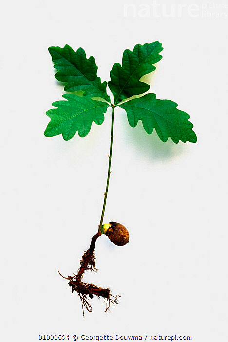 English oak seedling showing roots and leaves {Quercus robur} UK  ,  ACORN,BRITISH,CONCEPTS,ENGLAND,EUROPE,GD,GERMINATION,GROWTH,LEAVES,PLANTS,ROOT,ROOTS,SEED,SEEDLING,SEEDS,TREES,UK,UNITED KINGDOM,VERTICAL  ,  Georgette Douwma