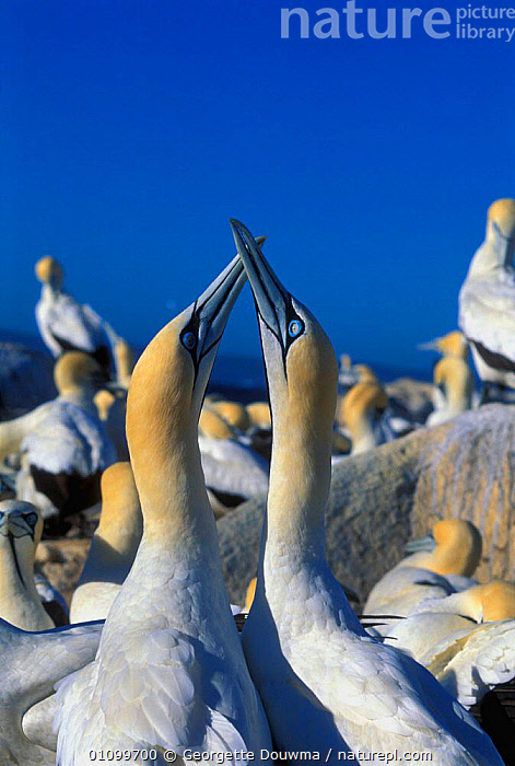 Cape gannets courtship display  {Morus capensis} Malgas Is, South Africa  ,  AFRICA,AFRICAN,BEHAVIOUR,BIRD,BIRDS,COURTSHIP,DISPLAY,GD,MALE FEMALE PAIR,MATING,MATING BEHAVIOUR,REPRODUCTION,SEABIRD,SEABIRDS,SOUTH,VERTICAL,WILDLIFE,COMMUNICATION,BOOBIES, Seabirds  ,  Georgette Douwma