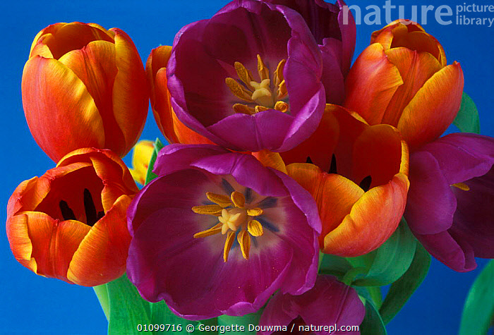 Bunch of cultivated Tulip flowers {Tulipa sp}  ,  CHANGES,COLOUR,COLOURFUL,CULTIVATED,DIMORPHISM,FLOWER,FLOWERS,GD,GROUP,GROUPS,HORIZONTAL,PLANT,PLANTS,RANGE,STAMENS,STIGMA,UK,VARIATION,VARIETY,EUROPE,UNITED KINGDOM,BRITISH  ,  Georgette Douwma