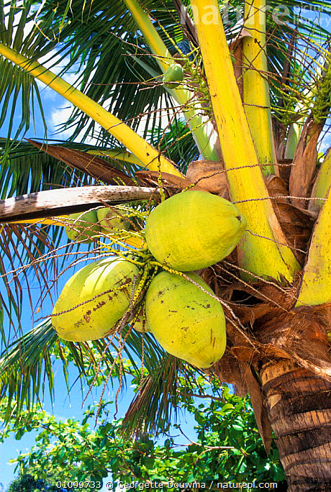Coconut fruits on palm tree {Cocos nucifera} Tonga  ,  COCONUTS,FRUIT,FRUITS,GD,GREEN,,PACIFIC,PALM,PLANT,PLANTS,THREE,TREE,TREES,VERTICAL ,OCEANIA  ,  Georgette Douwma