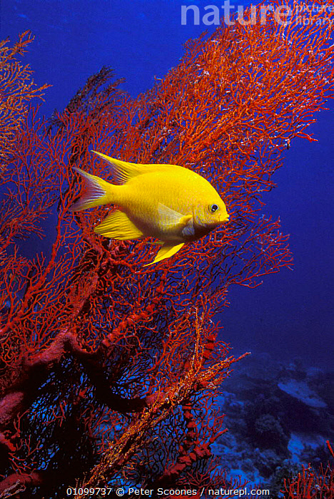 Golden damselfish {Amblyglyphidodon aureus} aand gorgonian coral Andaman sea, Thailand  ,  CORAL,CORAL REEFS,FISH,INDO,INDO PACIFIC,PACIFIC,PORTRAIT,PORTRAITS,PS,REEF,SOUTH EAST ASIA,TROPICAL,YELLOW,ASIA,MARINE  ,  Peter Scoones