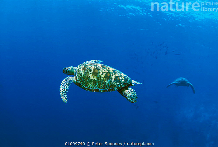 Green turtles swimming {Chelonia mydas} Sipadan, Sabah, Malaysia  ,  TURTLES,ASIA,HORIZONTAL,INDO,INDO PACIFIC,MARINE,PACIFIC,PS,REPTILES,SOUTH EAST ASIA,SWIMMING,TROPICAL,UNDERWATER,Chelonia, Turtles  ,  Peter Scoones