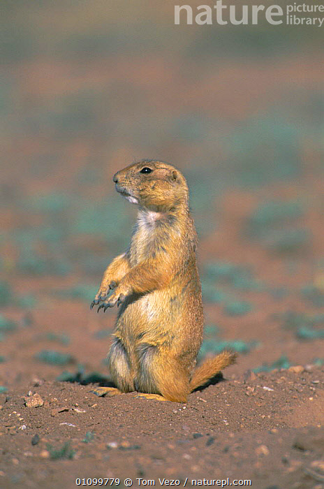 Black tailed prairie dog on guard {Cynomys ludovicianus} Mexico  ,  RODENTS,AMERICA,MAMMAL,CENTRAL,VERTICAL,RODENT,MAMMALS,CENTRAL AMERICA,Grassland  ,  Tom Vezo
