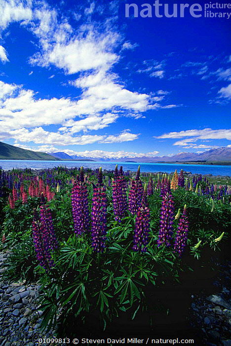 Introduced Lupin growing by glacial water of Lake Tekapo, near Mt Cook NP, South Island, New Zealand  ,  AUSTRALASIA,FLOWERS,GLACIAL,HIGHLANDS,LAKES,LANDSCAPES,MOUNTAINS,NEW ZEALAND,NP,PLANTS,RESERVE,VERTICAL,WATER,WILDFLOWERS,National Park  ,  Steven David Miller