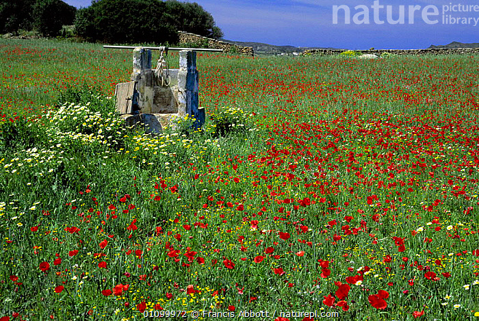 Poppies and mixed spring flowers at Cala Tirant, Minorca,  Balearic Is, Spain  ,  COLOURFUL,EUROPE,FA,FIELD,FLOWERS,FRANCIS,HORIZONTAL,LANDSCAPE,MEDITERRANEAN,MENORCA,MIXED,MIXED SPECIES,POPPY,SCENIC,SCENICS,SPAIN,SPRING,SUMMER,BALEARIC ISLANDS, SPAIN  ,  Francis Abbott