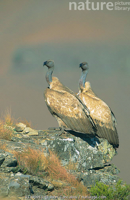 Cape vultures {Gyps coprotheres} South Africa  ,  VULNERABLE,VERTICAL,TWO,BIRD,BIRDS,SOUTHERN AFRICA  ,  John Cancalosi
